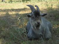 18 month old male pygmy goat if looking for a breeder