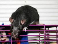 Elmo is a black berkshire fancy rat who I got from a