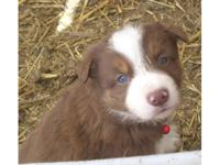 APRI signed up Red/White Perimeter Collie new puppy