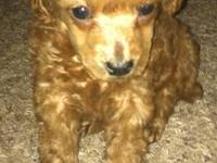 Cute 8 week old poodle puppy! He is 8 weeks old and