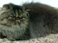 "We have adorable persian ""young adults"" offered. Males"