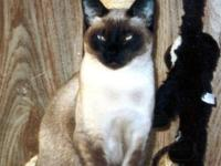 Male and female siamese felines 2 years aged each ...