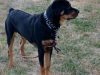 Young Male german rottweiler 8months for sale,
