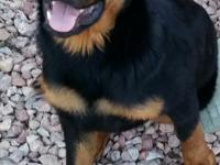 Very good 6 month old rottweiler puppy, black and tan