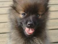 This is an outgoing Sable Pomeranian, Barkley. He loved