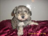8 Wk. old salt & & pepper male Schnoodle Puppy: Shots