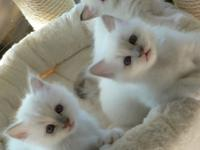 Male seal point Birmans. Raised in the house with mom,