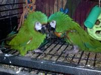 I am selling a Male Severe Macaw. He lost his mate when