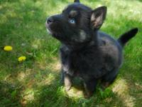 I have one male Shepsky puppy available! He will be 8