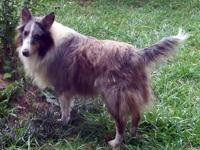 "HEART OF KY SHELTIE RESCUE ""Cameron"" is an 8 year old"