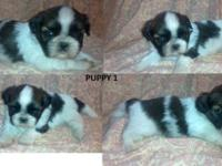 We have 3 charming guy shi-tzu young puppies available