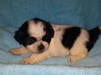 Have 3 male Shih-tzu Puppies available now. CKC