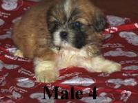 This is the last of our male puppies we have available
