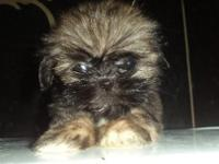 Male Shih Tzu puppy, ckc reg, 9 weeks old, very small,