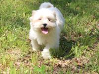 Male Shihtzu Puppy DOB February 6th Rare white/tan