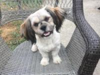 looking for a new home for my 6 month old shihpoo, he
