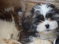 We currently have one male ShihTzu puppy available. He