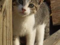 Male black/tiger and white shorthaired kitty, born