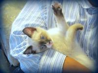 Dark points, Blue Eyes. Born May 22, Ready for new home