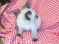 Fat Fluffy little male Siamese kitten. Both parents are