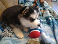 I have a male Siberian husky for sale. He is 14weeks