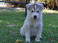I have 2 male purebread siberian husky puppies for
