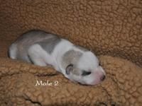 We have 1 male Siberian Husky Puppy left. He was born