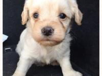 Male Snorkie Puppy. Will have first shot, wormed, and