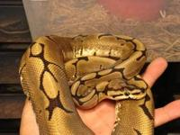 I have a Male Spider het Albino Ball Python - 1.5 years