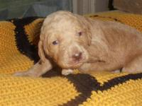 We have adorable male standard F2b labradoodles. They