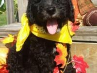 I have a beautiful male standard poodle puppy for sale.
