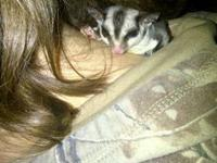 (1/3) We have a four month old male sugar glider. Comes