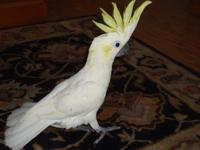 I HAVE A 7 YEAR OLD Sulphur crested Cockatoo and all