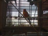 I have a Extra Male Sun Conure , , this particular bird