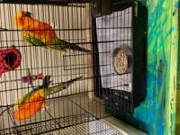 He is a beautiful Male Sun Conure he is tame and loves