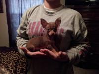 Full blood APRI registered male chihuahua puppy. He is