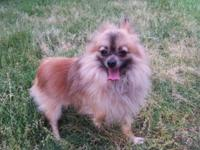I have a 1 and a half year old Pomeranian. He is very