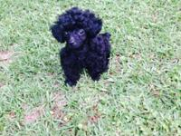 Solid black male toy poodle puppy. He is tracking to be