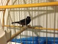 I have one male towa towa/ curio for sale. Clean bird