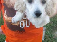Male toy poodle. Light apricot with white markings.