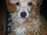 2 Male Toy Poodle puppies 9 weeks old UTD on shots and