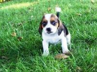 This male beagle is 9 weeks old can be registered with
