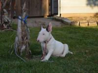 Additional information: English Bull Terrier, 4 months