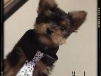 5 month old yorkie, male. He has shots, has been