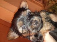 I have a male yorkie that will be ready January 3rd. He