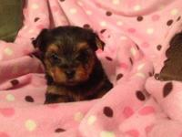 Charming AKC signed up 8 week aged male yorkie !! He