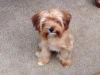 Male yorkie needs an excellent home. He is six months