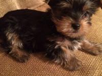 Tiny Yorkie male. He is 8 weeks all set and old for his
