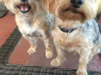 Male Yorkie is 6 years old 12 lbs Neutered shots and