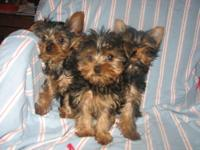 I have one male yorkie pup for sale. He was born
